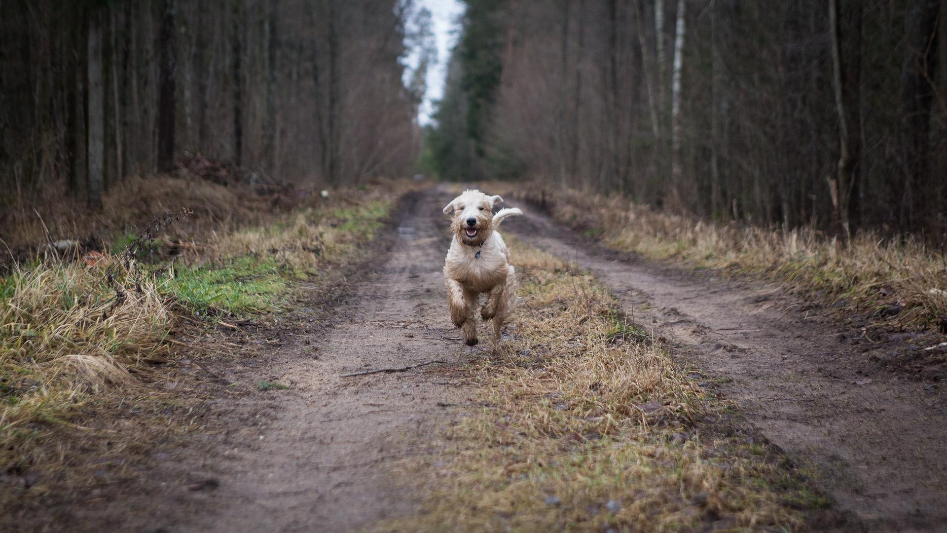 Hund kommt freudig und schnell nach Rückruf