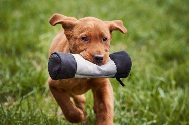 puppy-5021237_1920
